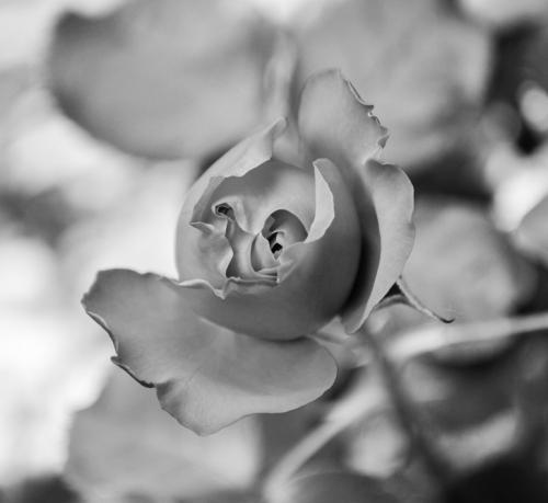 1. Naissance du visage de la rose, 2017 (2).jpg