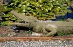Roger Lemière,un crocodile, ph.B.Montpied, 2008.jpg